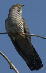 Coucou gris Cuculus canorus Common Cuckoo