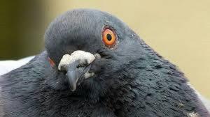 pigeon paint