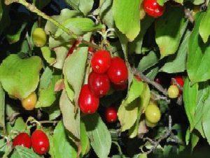 cornouiller-male-cornus-mas-cornaceae